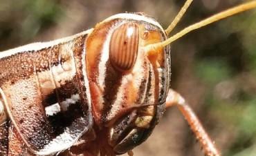 Santa Fe está en zona de emergencia fitosanitaria por plaga de langostas
