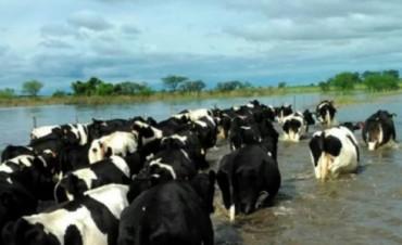 Los tambos del sur santafesino no tenían alimento para las vacas por la inundación