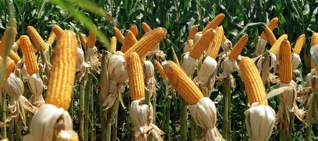 El ministro Costamagna manifestó que la exportación del maíz se debe abordar de modo federal