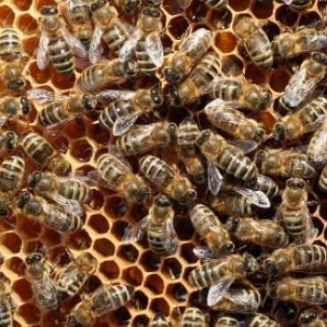 Un hombre de 94 años murió al ser atacado por un enjambre de abejas en Helvecia