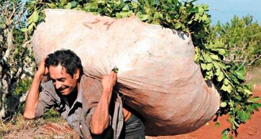 Yerbateros reclaman aumento del monto recibido por la producción