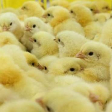 La producción avícola y el consumo de carne aviar aumentaron durante el primer trimestre del año
