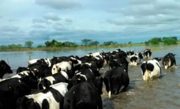 Ciento veinte mil animales morirían en Corrientes por las inundaciones