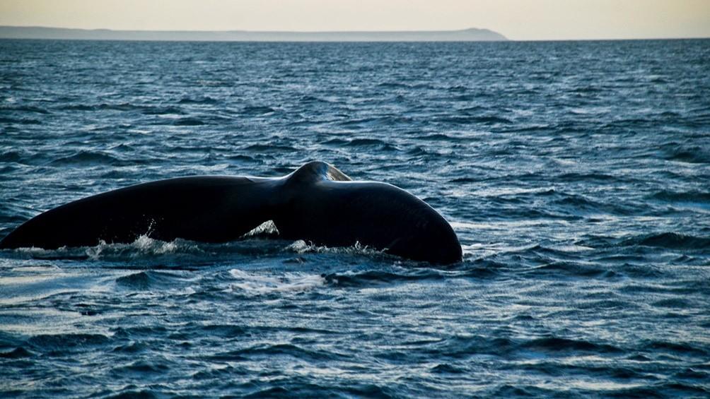 Llegada récord de ballenas a Península Valdez