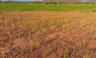 Langostas arrasaron hectáreas de cultivos en Jujuy